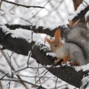 Squirrels in Neskuchny Garden