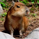 Capybara born at the Moscow Zoo