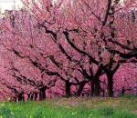 В «Аптекарском огороде» расцвела сакура со склонов Фудзиямы.